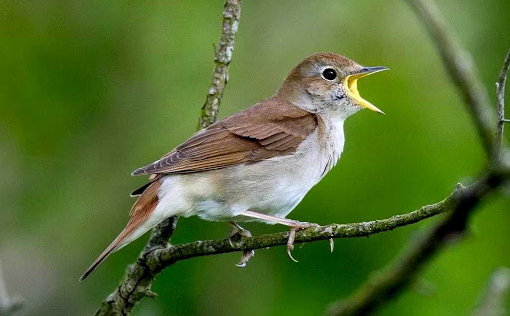 Inilah BURUNG Nightingale atau Sikatan Londo