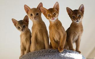 экзотические котята абиссинцы