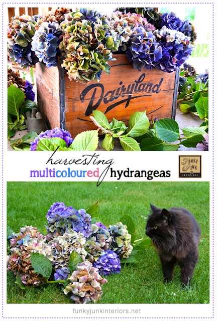 Tips on achieving and drying mulitcoloured hydrangea blooms, via Funky Junk Interiors