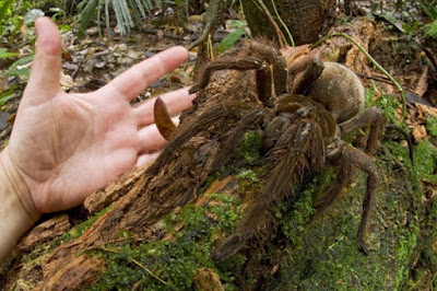Tarántula Gigante Goliat en la naturaleza