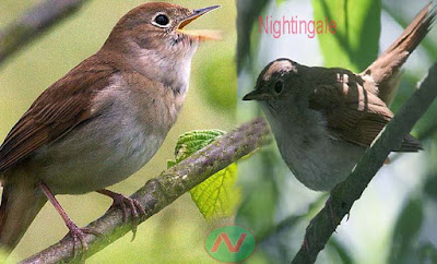nightingale, nightingale bird, পাপিয়া