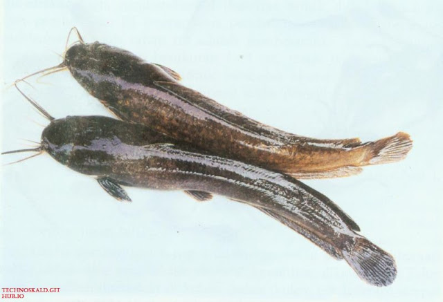 Gambar, Foto Sudahkah Sahabat Tahu Nama Latin Ikan Lele Dan Ciri Cirinya?