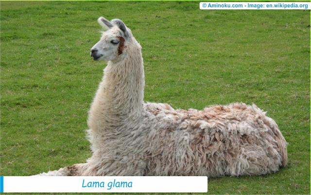 Fakta unik llama