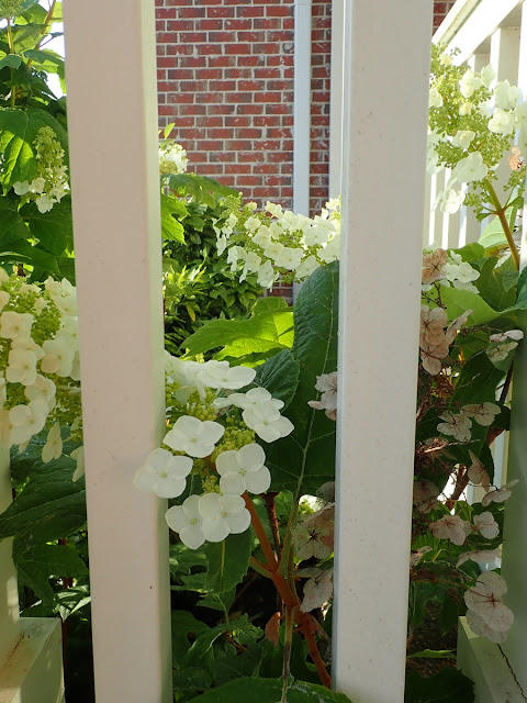 White flowers of oakleaf hydrangea (Hydrangea quercifolia) blooming against white porch railing