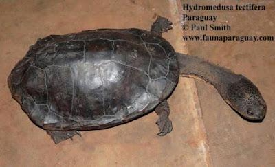 Hydromedusa tectifera