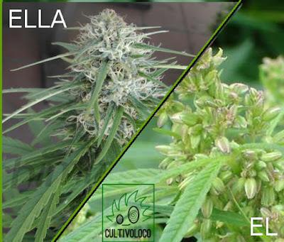 Determinando el sexo del cannabis