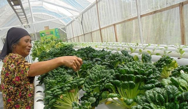 Kebun Sayur Hidroponik Milik Handoko Jadi Obyek Wisata Sayur yang Menarik