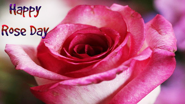 Pink-rose-for-rose-day-wallpapers
