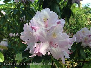 Rhododendronblüte Foto von unabhängiger Stampin' Up! Demonstratorin in Coburg