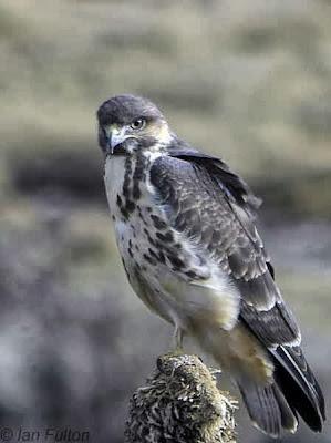 Busardo montañés Buteo oreophilus