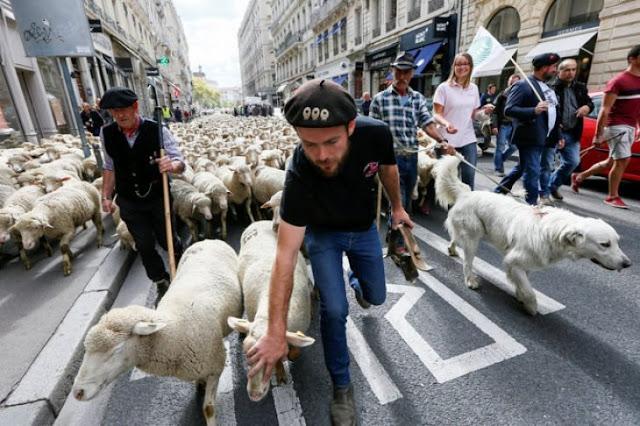 Ovejas protestan en Lyon contra ataque de los lobos
