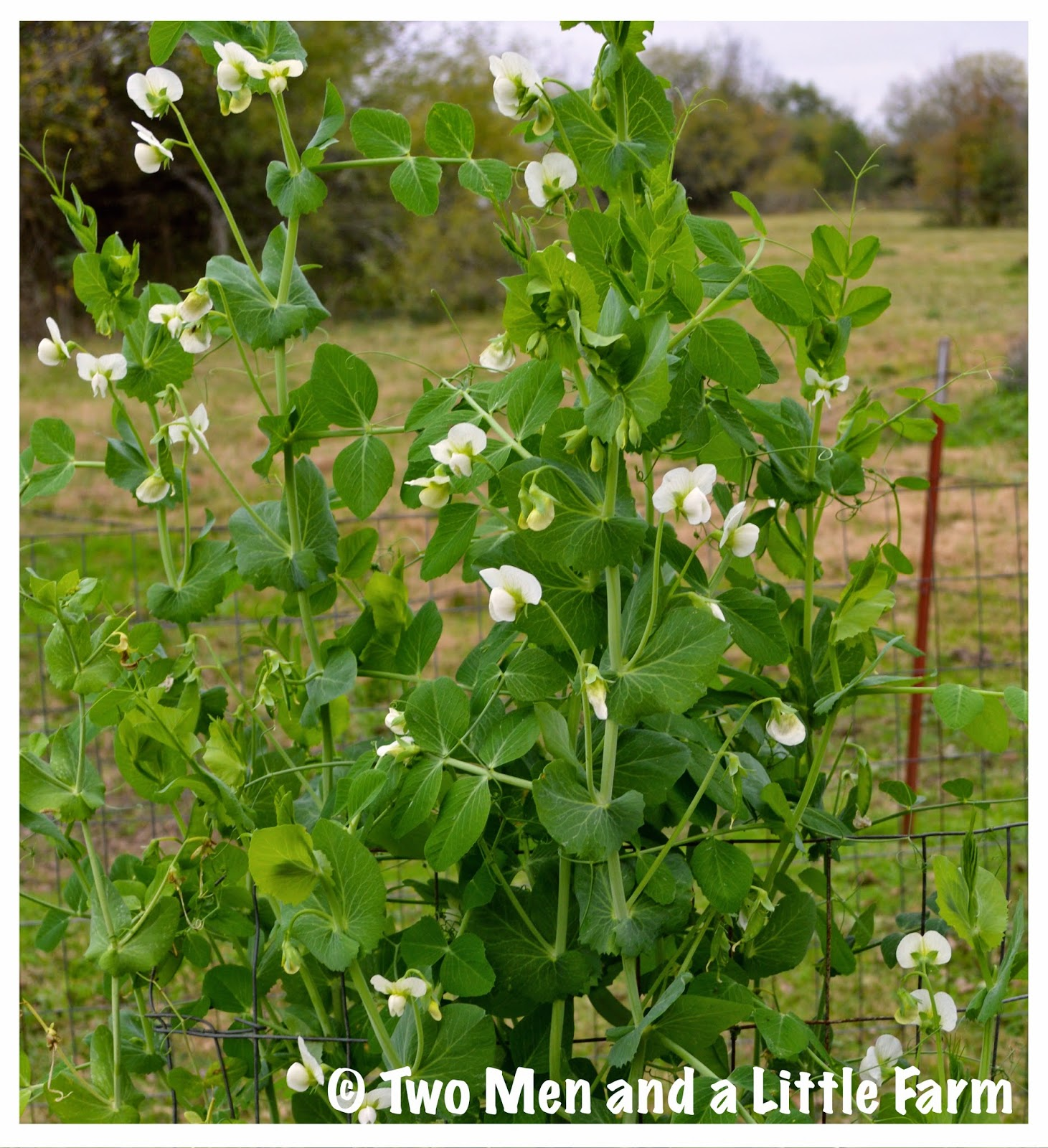 Growing Garden Peas: Two Men And A Little Farm: ALASKA GARDEN PEAS