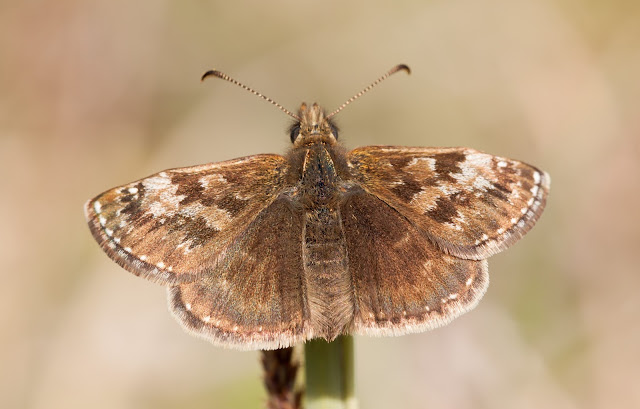 Dingy Skipper - Buckinghamshire