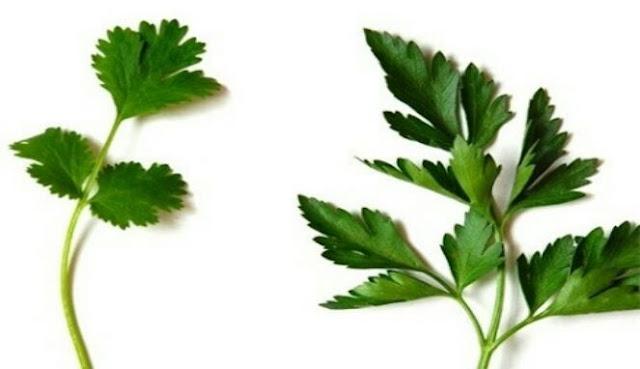 Manfaat daun ketumbar atau cilantro