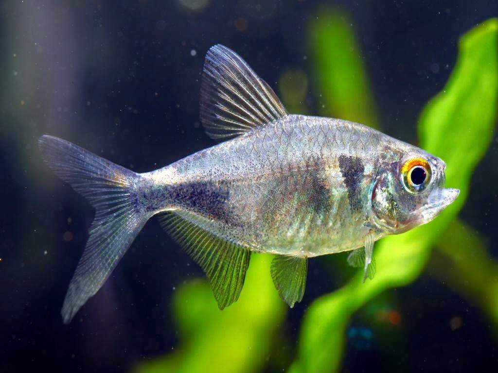 Wildlife Pristella Maxillaris Amazing Fish X Ray Tetra