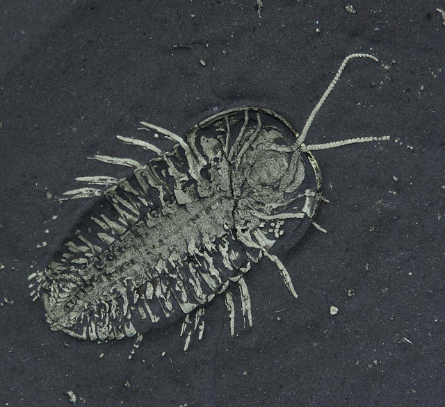First-ever discovered trilobite eggs paired with fossil of the segmented creature