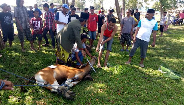 Hari Raya Idul Adha 9 Ekor Sapi Disembelih di Mappesangka
