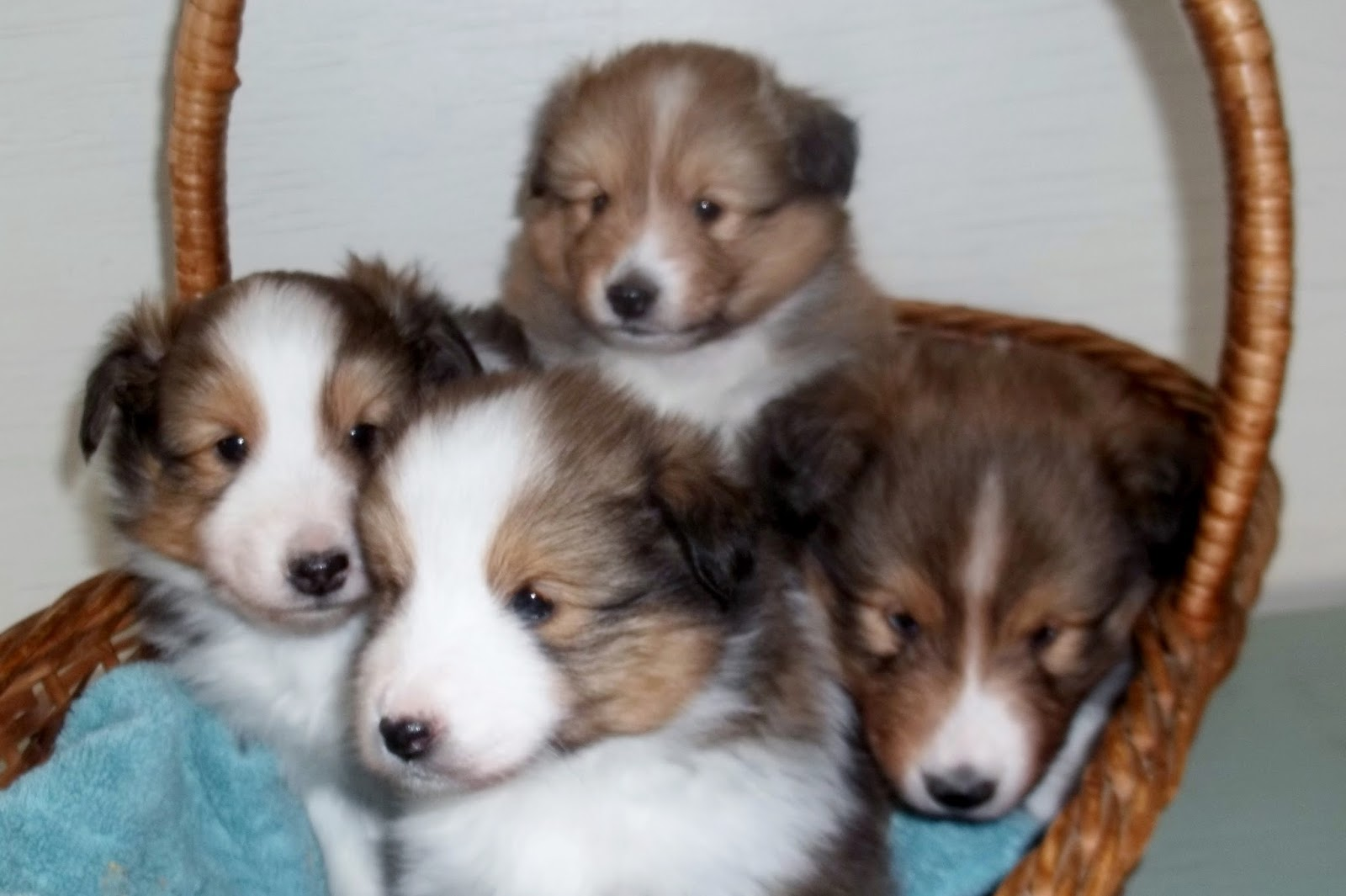 Loyal shelties nvjuhfo Images