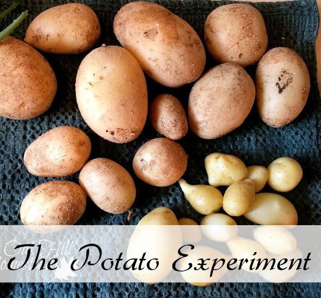 My first attempt at growing potatoes was a total fail. This time was different! (c) Oak Hill Homestead http://www.oakhillhomestead.com