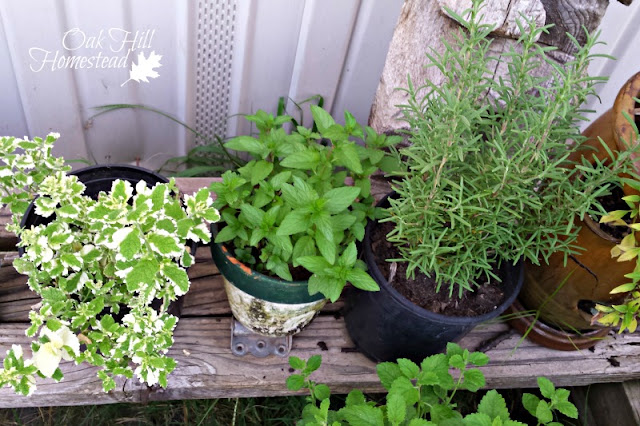 A shelf of potted herbs on a balcony or patio is visually appealing as well as food-producing.