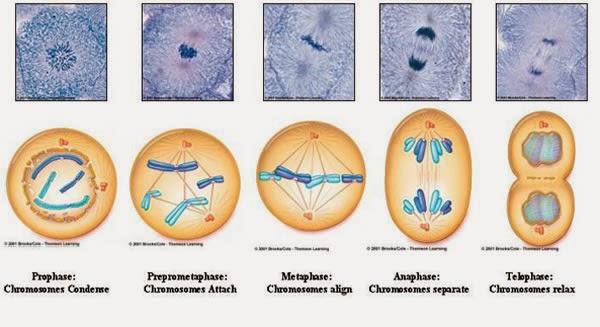 tahapan mitosis
