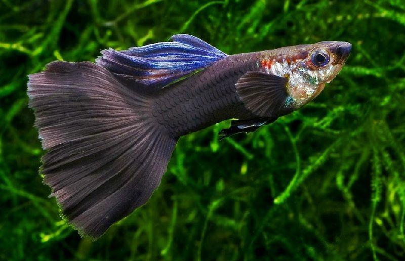 Gambar Ikan Guppy Delta Tail