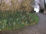 snowdrops line the lane
