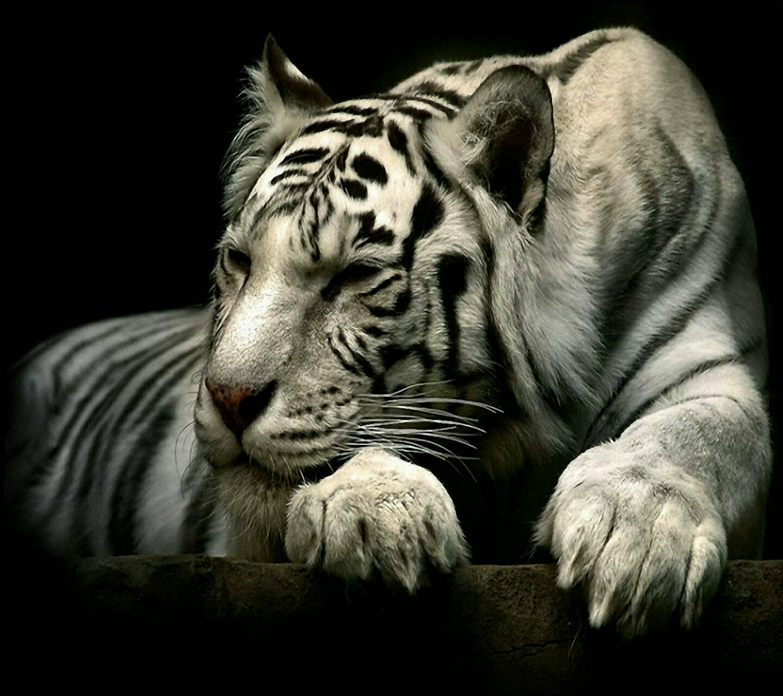telecharger fond ecran gratuit tigre blanc
