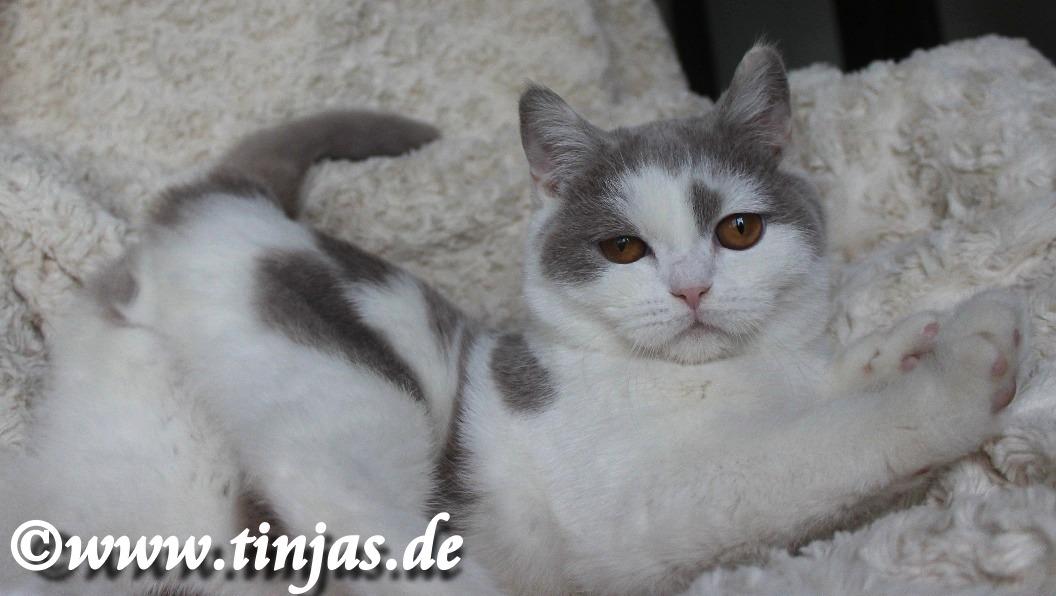 Britisch Kurzhaar Katzenbaby lilac-white 2019 10