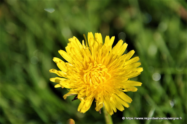 Photo de fleur de pissenlit