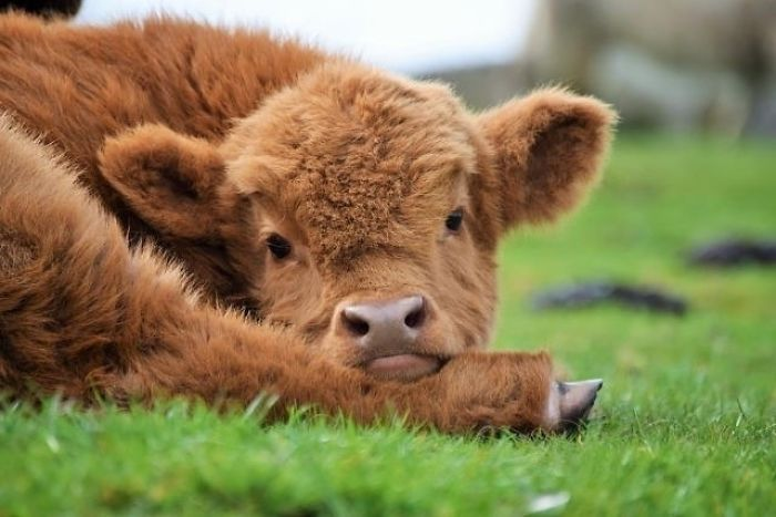 22 Adorable Highland Calves That Made Us Smile Today