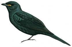 Black Cuckooshrike