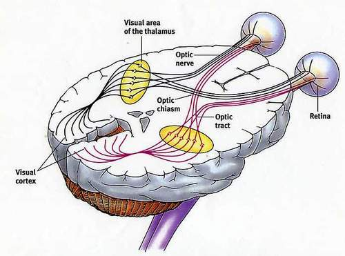 Brendas brain prism sticker here is a diagram on how the brain connects the eyes for all you biology students out there you remember that the left eye connects to the right side of ccuart Gallery