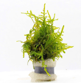 Jenis Moss Aquascape Singapore Moss