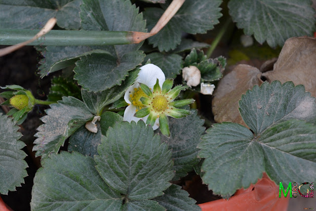 There's finally the blooms in the strawberry plants