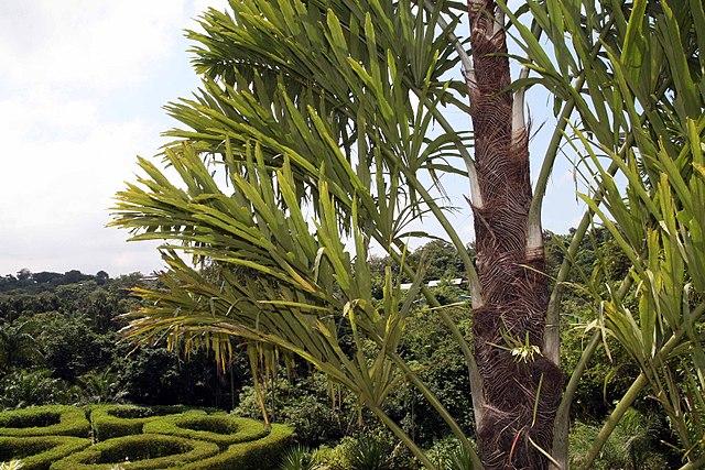 Wallichia disticha at Else Kientzler Botanical Garden, Sarchi Norte, Costa Rica