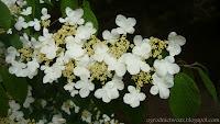 Kalina  japońska- Viburnum plicatum f.tomentosum