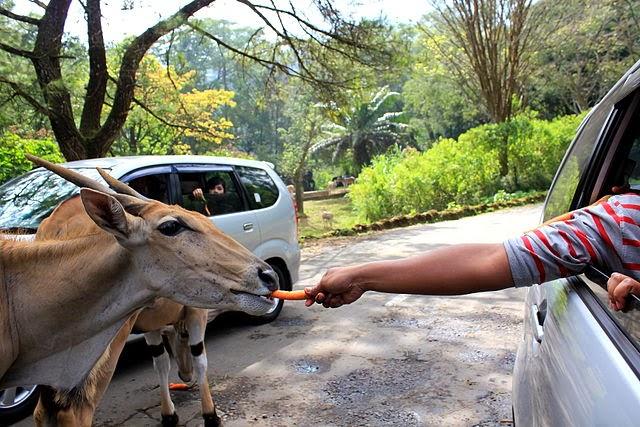 Memberi makan binatang di Taman Safari Indonesia