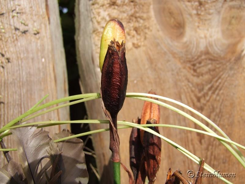 Iris Samenstände