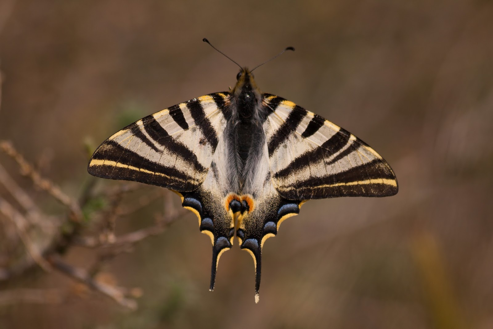 Scarce Swallowtail - Spain