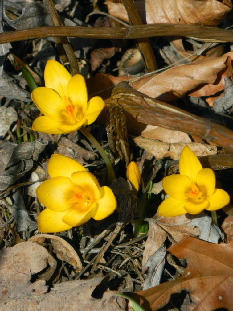Yellow crocus spring blooms Toronto Botanical Garden by garden muses-not another Toronto gardening blog
