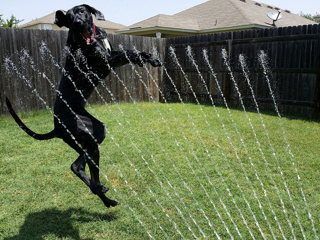 Great Dane loves water