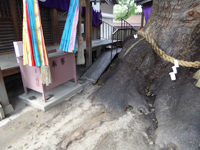 三島神社の薫蓋樟
