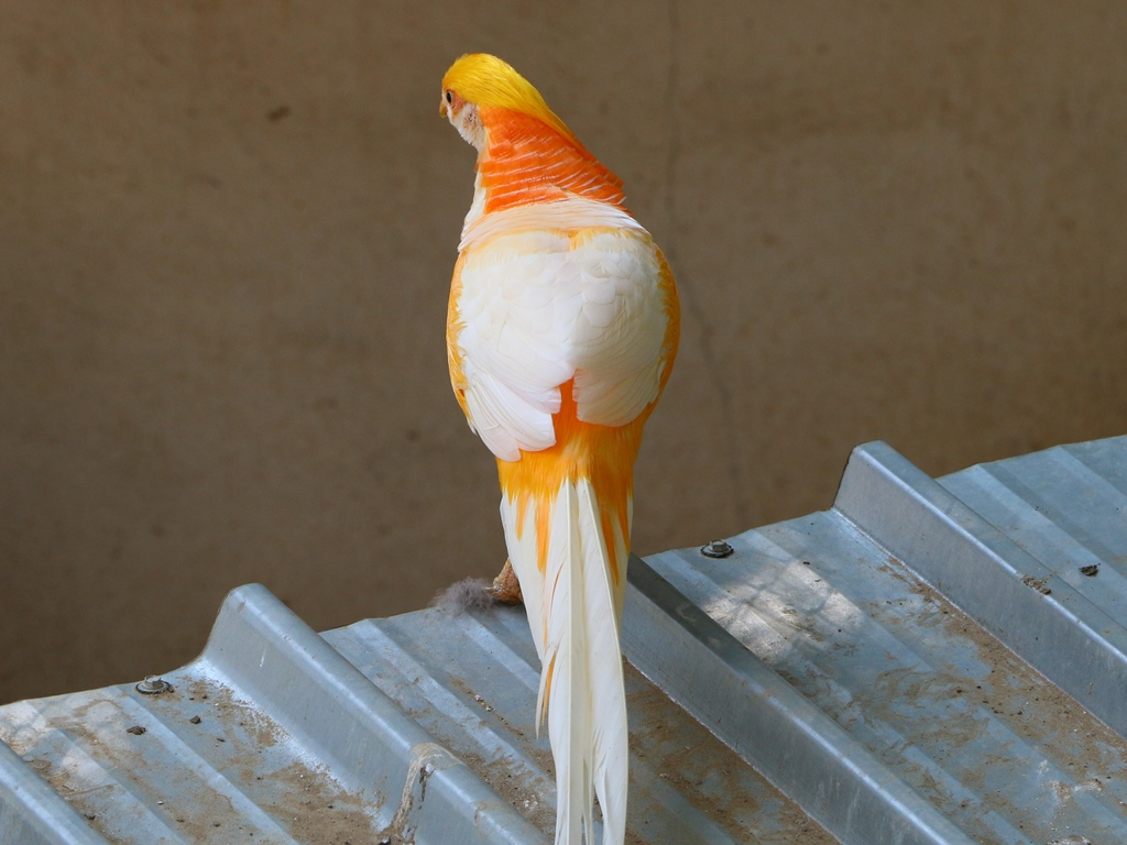 Золотой красный фазан Peach%2BYellow%2BGolden%2BPheasant%2B-%2B4