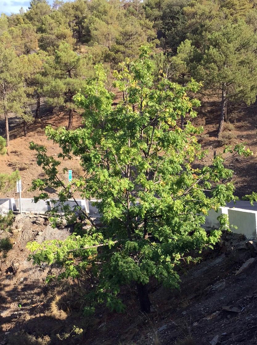 Plantar cientos de arboles serbal com n sorbus domestica for Arbol comun