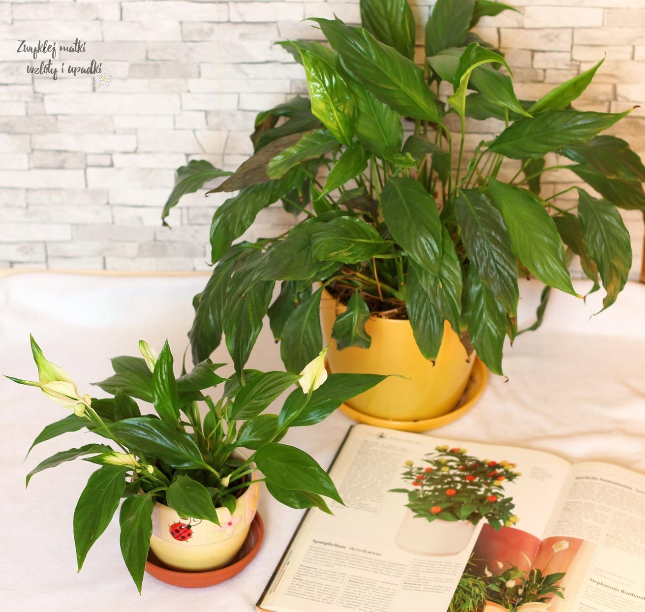 Rośliny oczyszczające powietrze - skrzydłokwiat i jego pielęgnacja