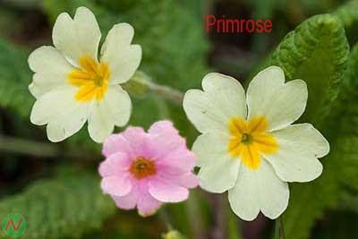 primrose flower, primrose