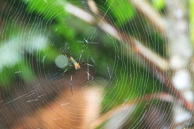 Golden Orb Weaver Spider (Nephila pilipes)