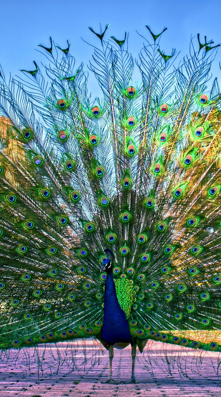 A peacock display.