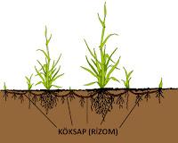 Bitki köksap ve rizomlarını toprak altında gösteren çizim